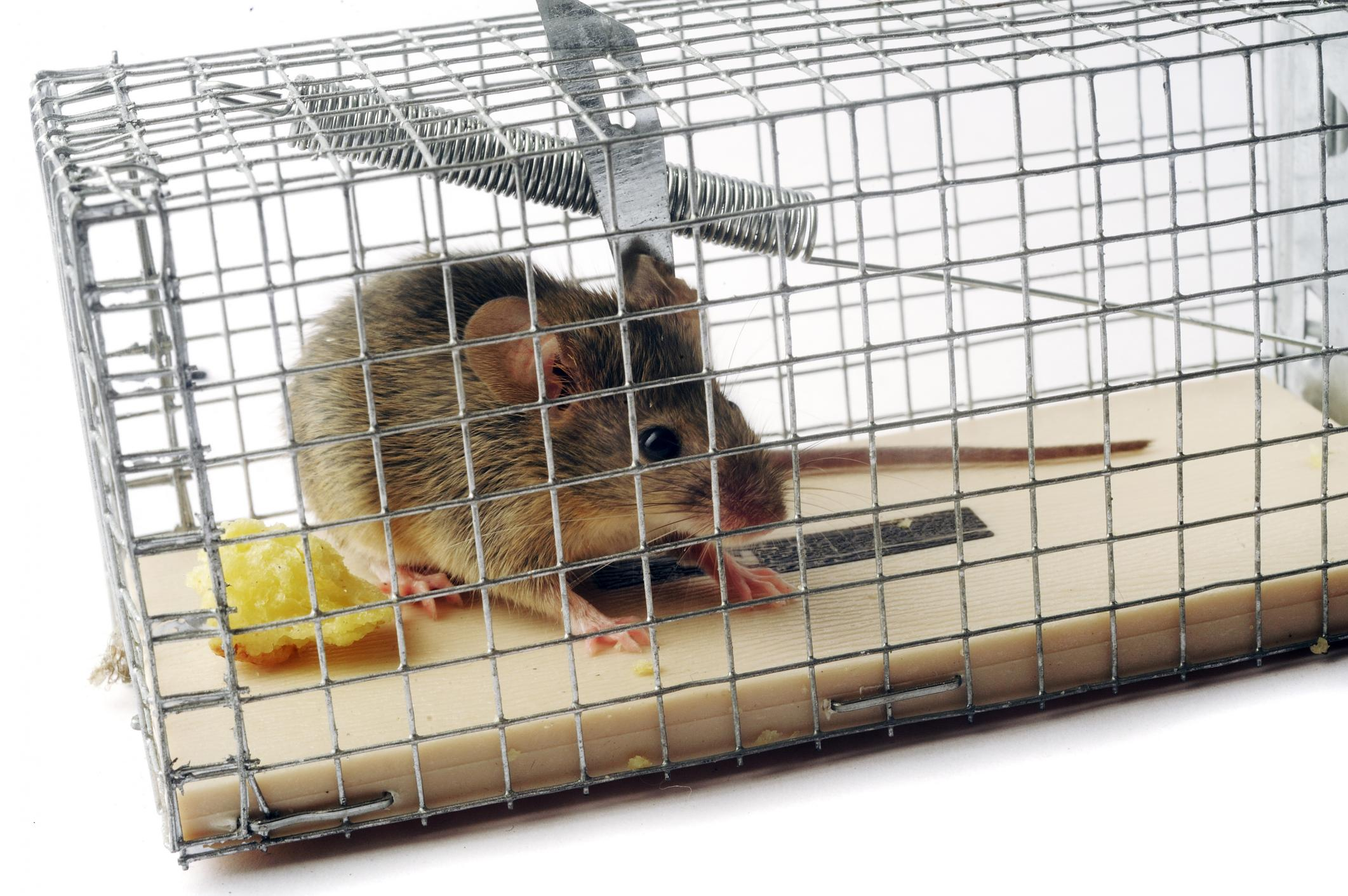Pest Control Fort Smith - Rodents 1