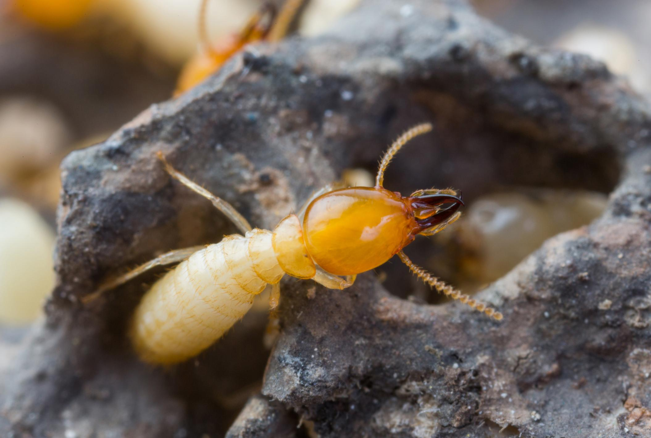 Pest Control Fort Smith - Termites 1